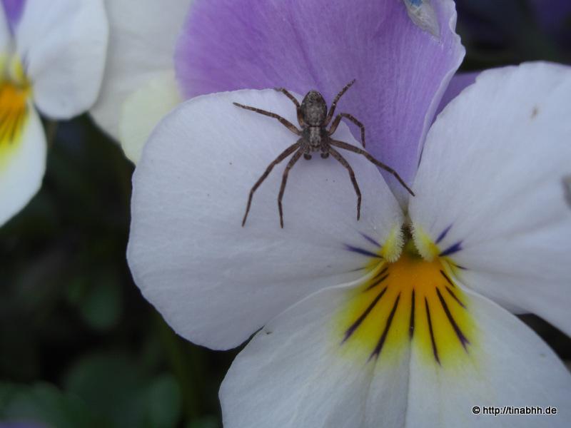 Kleine Spinne auf Hornveilchen
