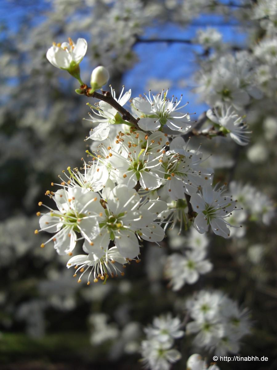 Blütenmeer in weiß