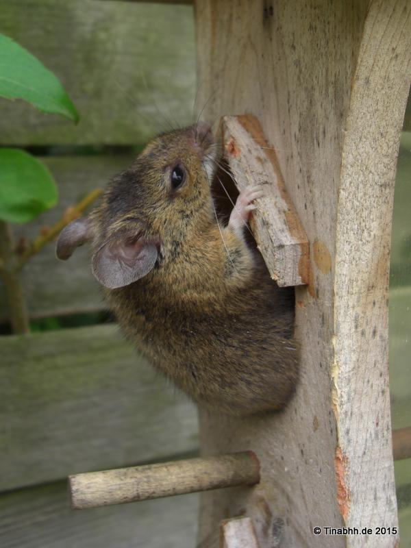 Kleine Maus außserhalb des Futterspenders