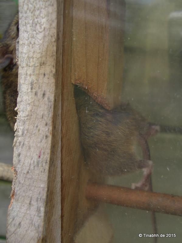 Kleine Maus zur Hälfte noch im Futterspender