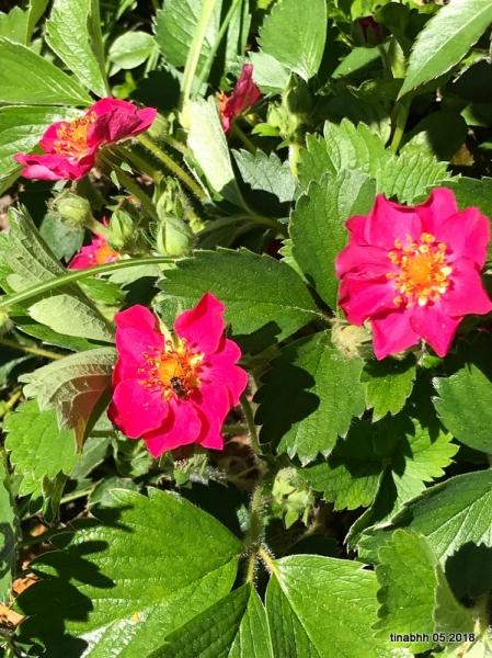 6.5. Erdbeerblüten