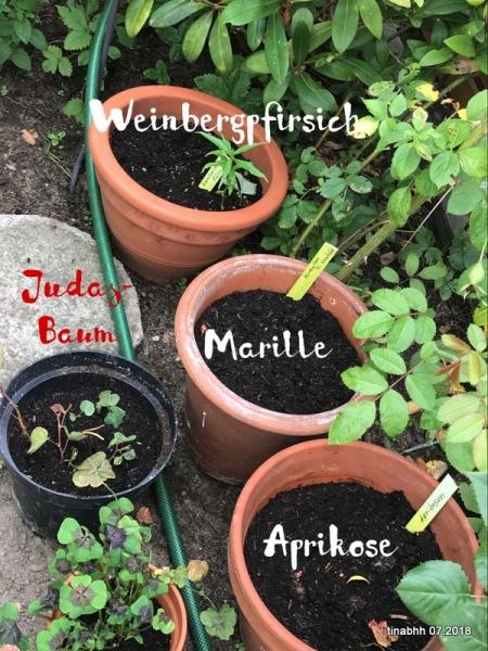 Ableger von Steinobst, Weinbergpfirsich, Mirabelle, Aprikose