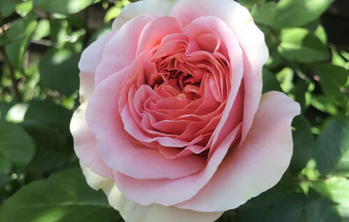 Chippendale Rose